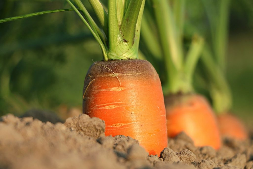 carrots growing out of the soil