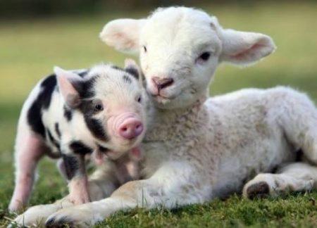 piglet and lamb