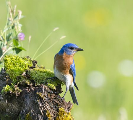 Eastern Bluebird, Sialia sialis, male bird perching in a wildflower field